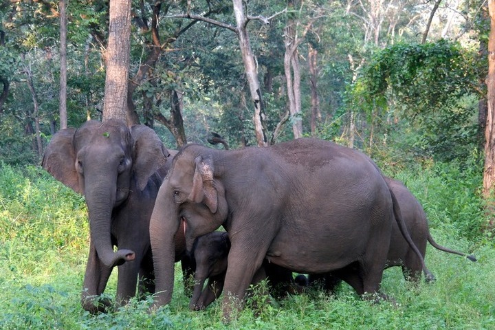 Wild Elephants at Nagarhole